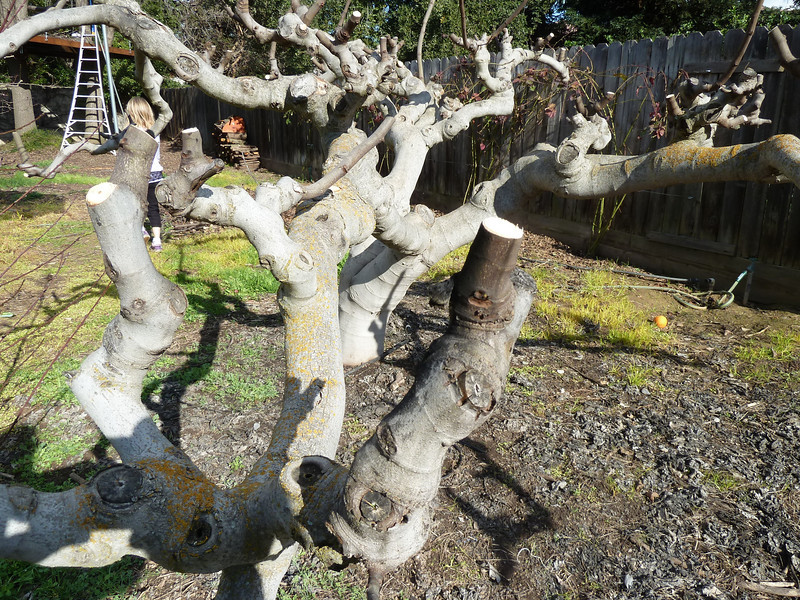 Fig Tree Pruning http://stevec.smugmug.com/Other/Kadota-Fig-Tree/18683631_LsJ2xq/1444845516_bJtssZw